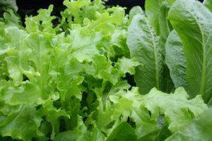 listová zelenina